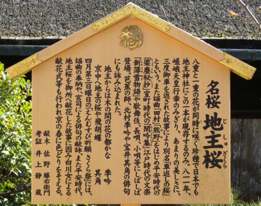 地主神社 桜 看板
