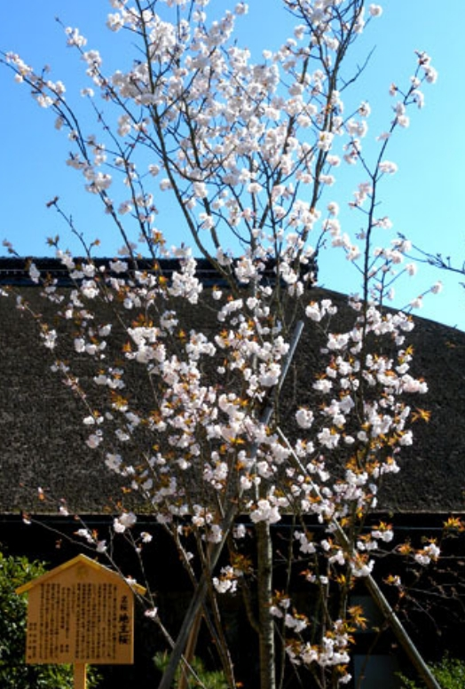 地主神社 桜